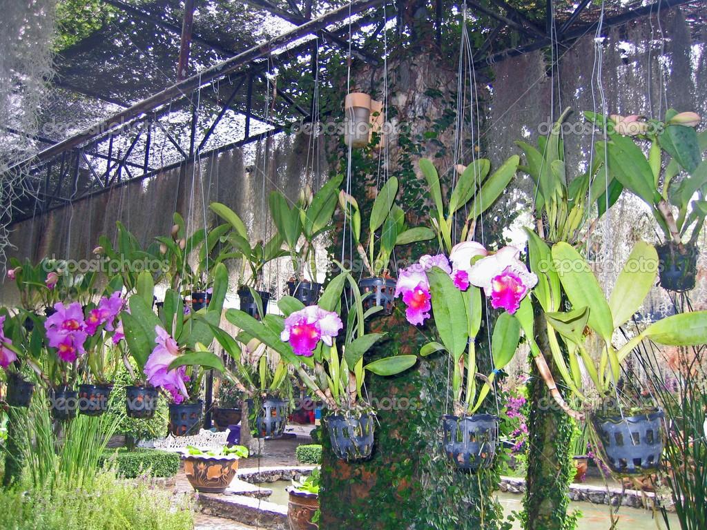 Orquídeas pendentes ficam penduradas