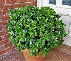 plantas jade
