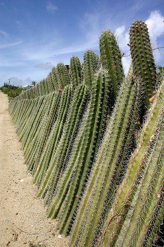 cerca viva de cactus