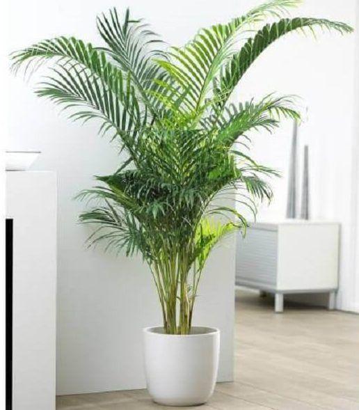 plantas areca bambu