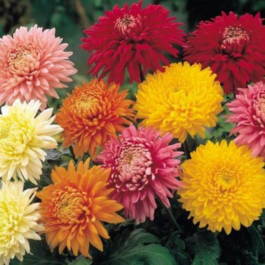 Flor Crisântemo