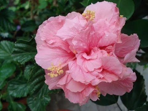 flor hibisco